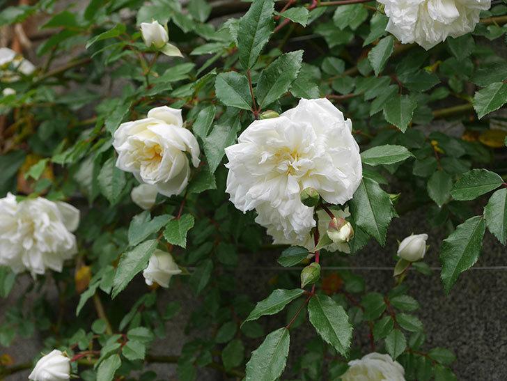 アルベリック・バルビエ(ツルバラ)の花がたくさん咲いた。2020年-5.jpg