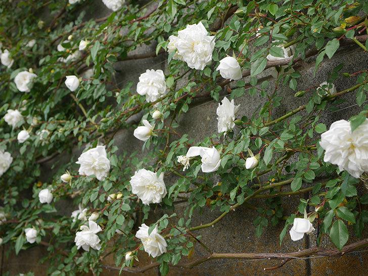 アルベリック・バルビエ(ツルバラ)の花がたくさん咲いた。2020年-6.jpg