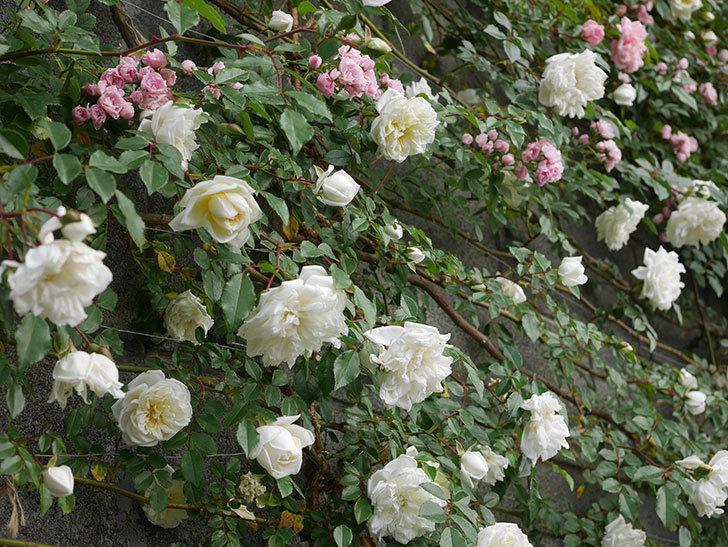 アルベリック・バルビエ(ツルバラ)の花がたくさん咲いた。2020年-7.jpg