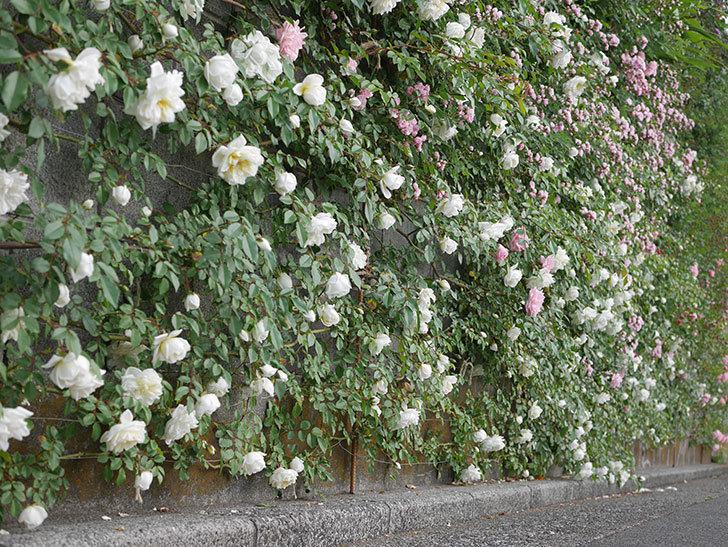アルベリック・バルビエ(ツルバラ)の花がたくさん咲いた。2020年-8.jpg