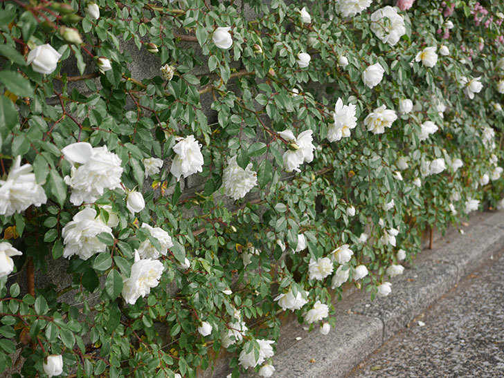アルベリック・バルビエ(ツルバラ)の花がたくさん咲いた。2020年-9.jpg