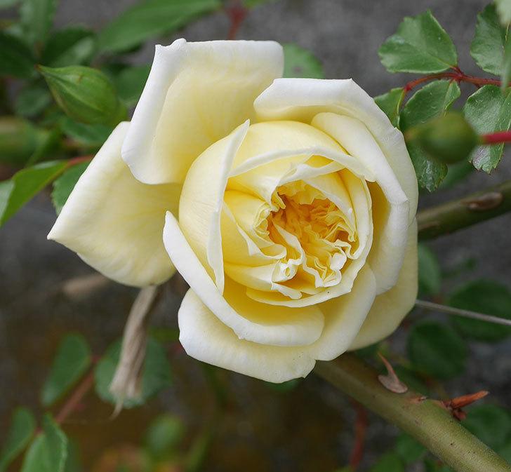 アルベリック・バルビエ(ツルバラ)の花がぽつぽつ咲きだした。2020年-10.jpg