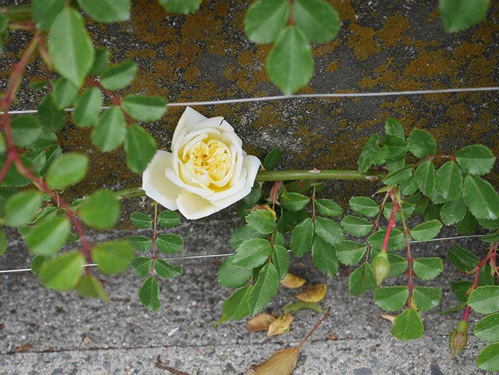 アルベリック・バルビエ(ツルバラ)の花がぽつぽつ咲きだした。2020年-11.jpg