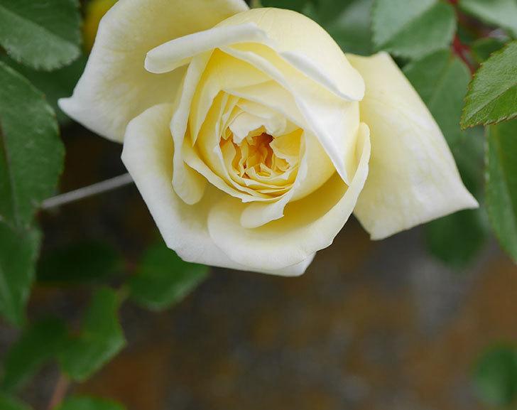 アルベリック・バルビエ(ツルバラ)の花がぽつぽつ咲きだした。2020年-12.jpg