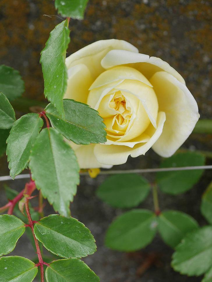 アルベリック・バルビエ(ツルバラ)の花がぽつぽつ咲きだした。2020年-13.jpg