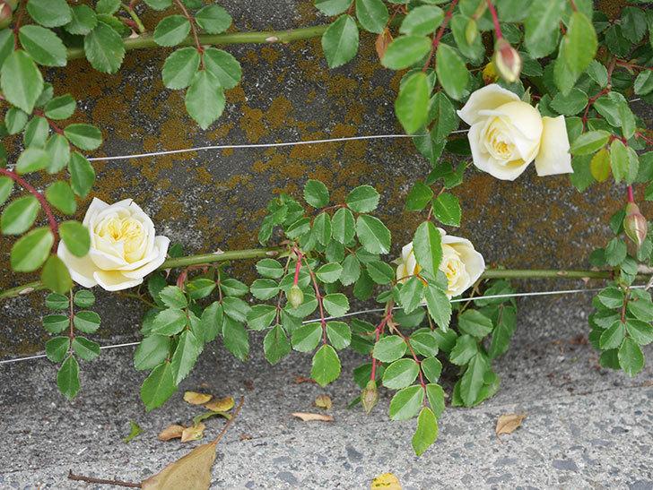 アルベリック・バルビエ(ツルバラ)の花がぽつぽつ咲きだした。2020年-14.jpg