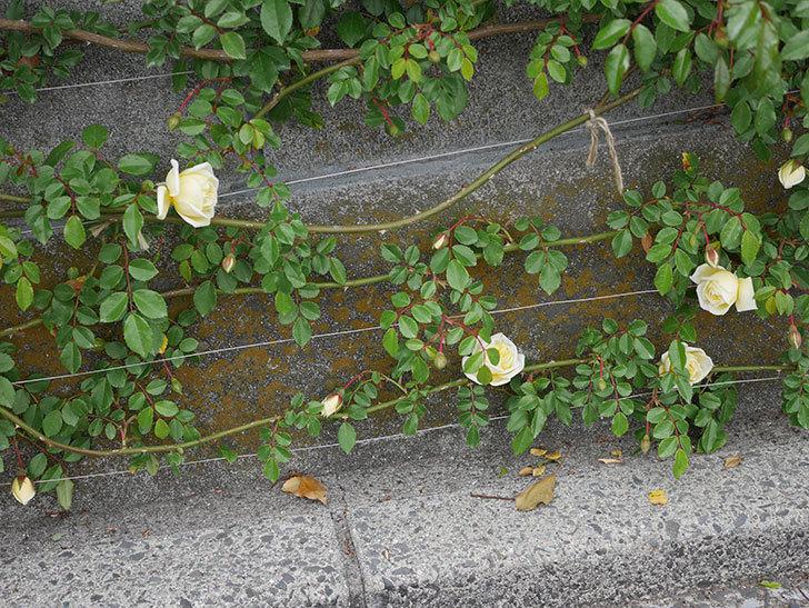 アルベリック・バルビエ(ツルバラ)の花がぽつぽつ咲きだした。2020年-15.jpg