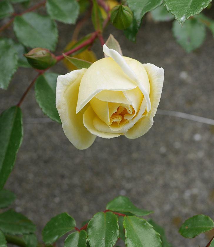 アルベリック・バルビエ(ツルバラ)の花がぽつぽつ咲きだした。2020年-16.jpg
