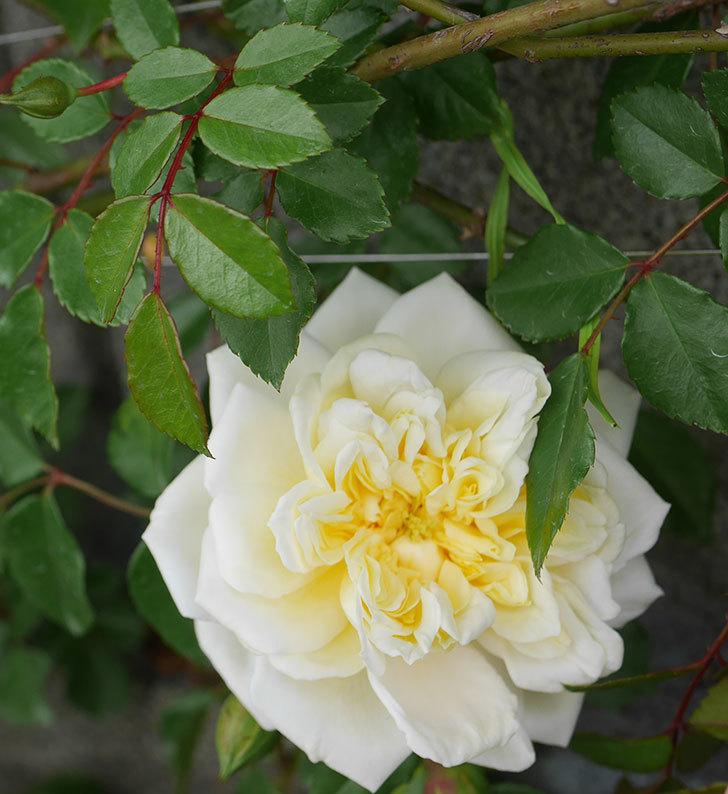 アルベリック・バルビエ(ツルバラ)の花がぽつぽつ咲きだした。2020年-17.jpg