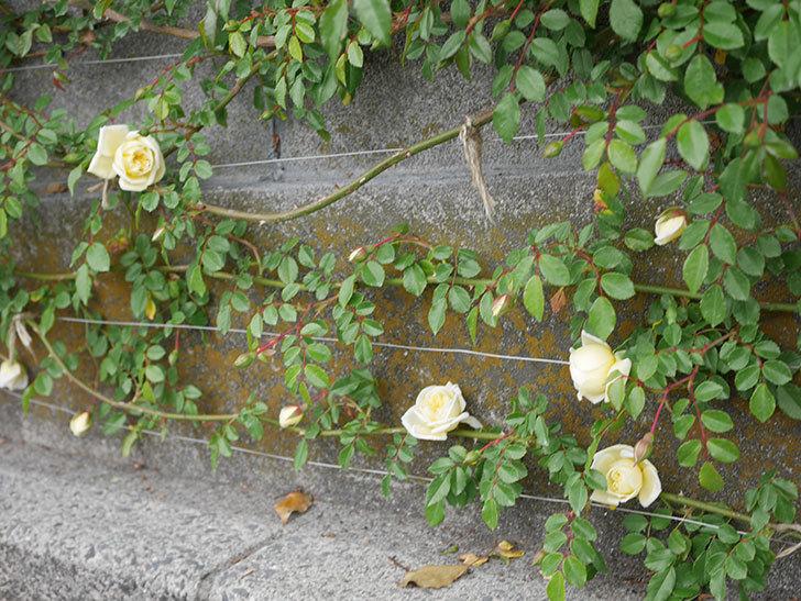 アルベリック・バルビエ(ツルバラ)の花がぽつぽつ咲きだした。2020年-18.jpg
