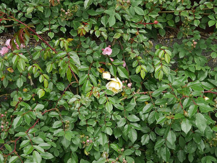 アルベリック・バルビエ(ツルバラ)の花がぽつぽつ咲きだした。2020年-19.jpg
