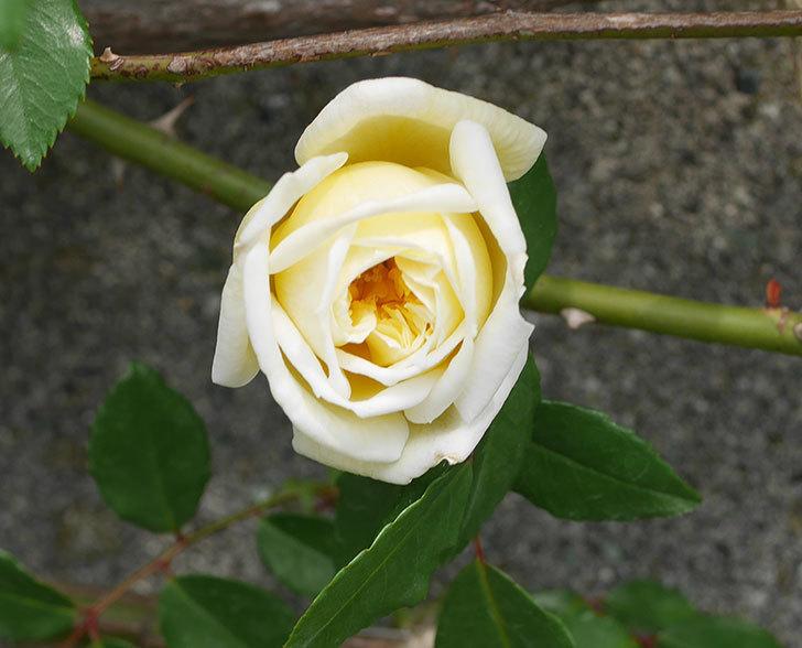 アルベリック・バルビエ(ツルバラ)の花がぽつぽつ咲きだした。2020年-2.jpg