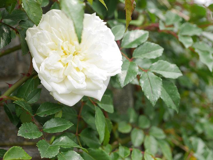 アルベリック・バルビエ(ツルバラ)の花がぽつぽつ咲きだした。2020年-3.jpg