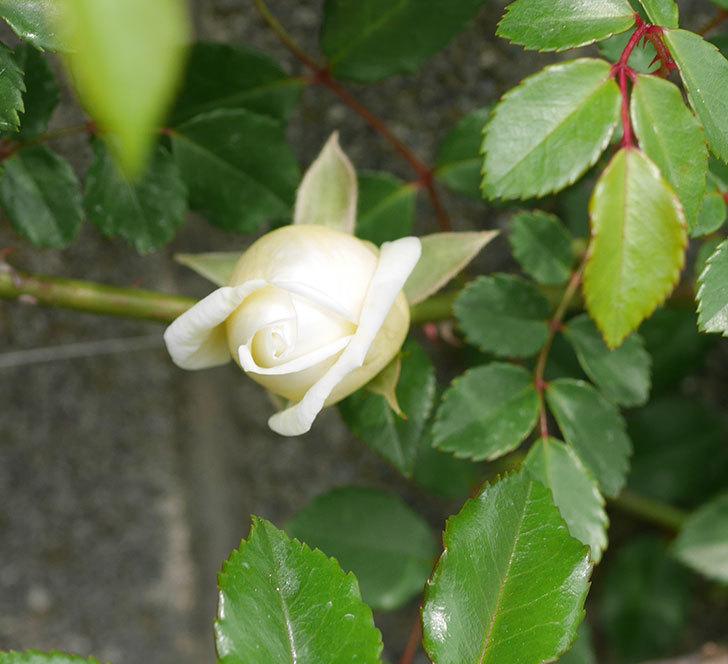 アルベリック・バルビエ(ツルバラ)の花がぽつぽつ咲きだした。2020年-4.jpg