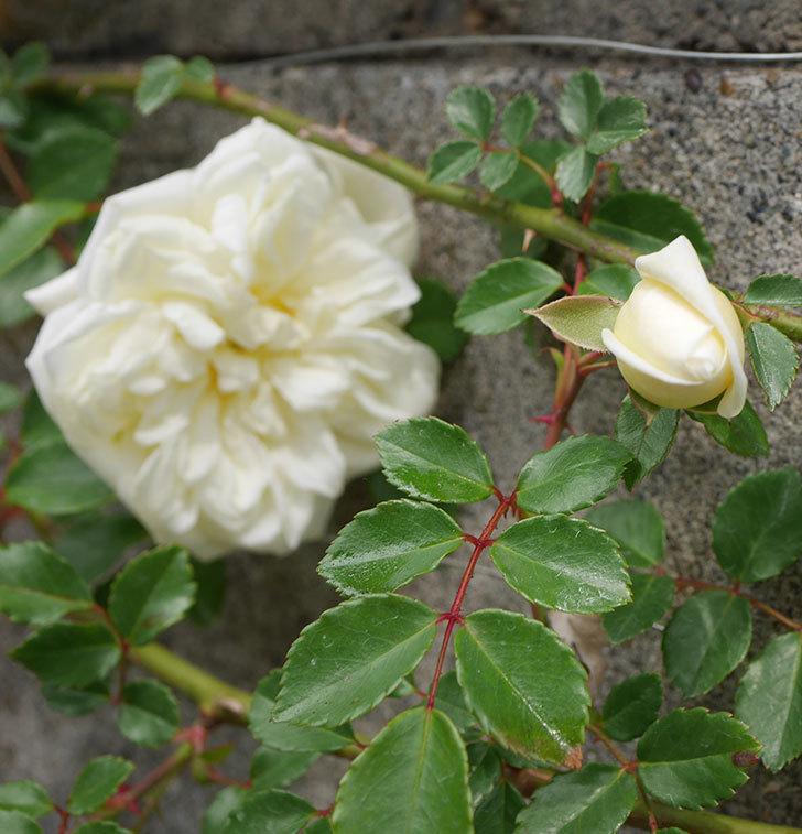 アルベリック・バルビエ(ツルバラ)の花がぽつぽつ咲きだした。2020年-5.jpg