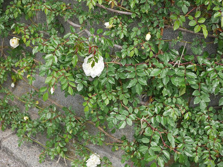 アルベリック・バルビエ(ツルバラ)の花がぽつぽつ咲きだした。2020年-6.jpg