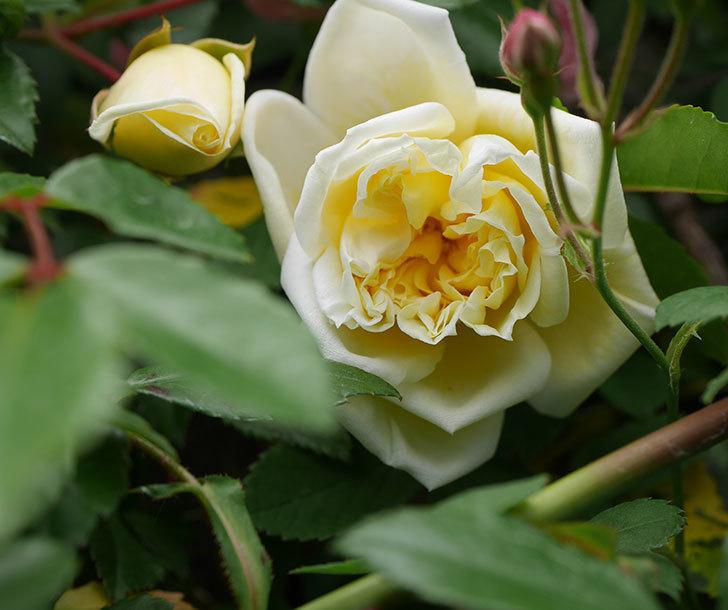 アルベリック・バルビエ(ツルバラ)の花がぽつぽつ咲きだした。2020年-7.jpg