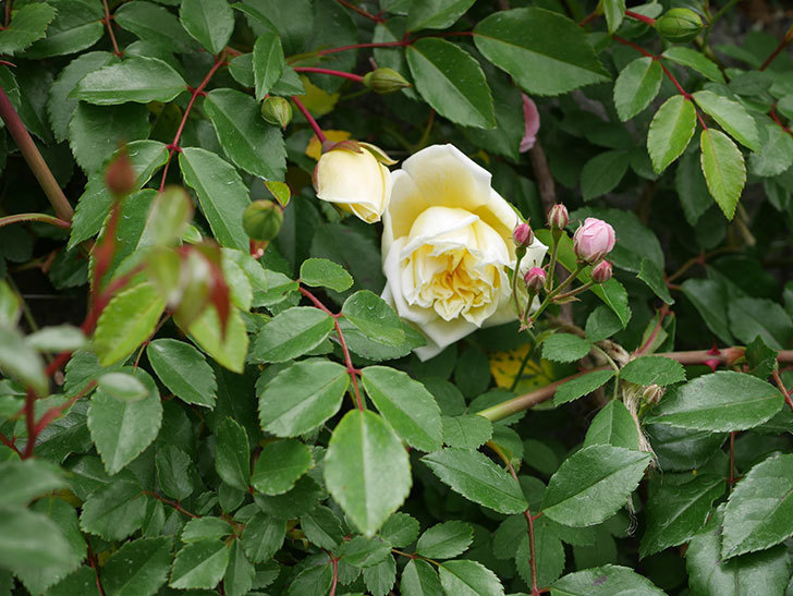 アルベリック・バルビエ(ツルバラ)の花がぽつぽつ咲きだした。2020年-8.jpg