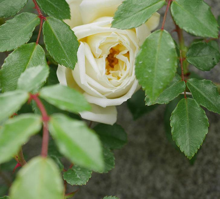 アルベリック・バルビエ(ツルバラ)の花がぽつぽつ咲きだした。2020年-9.jpg