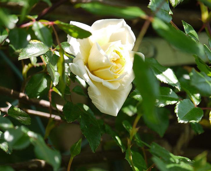 アルベリック・バルビエ(ツルバラ)の花がポツポツ咲きだした。2018年-1.jpg