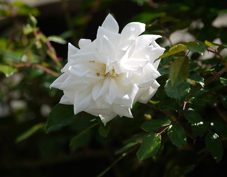 アルベリック・バルビエ(ツルバラ)の花がポツポツ咲きだした。2018年-2.jpg