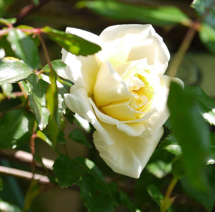 アルベリック・バルビエ(ツルバラ)の花がポツポツ咲きだした。2018年-3.jpg