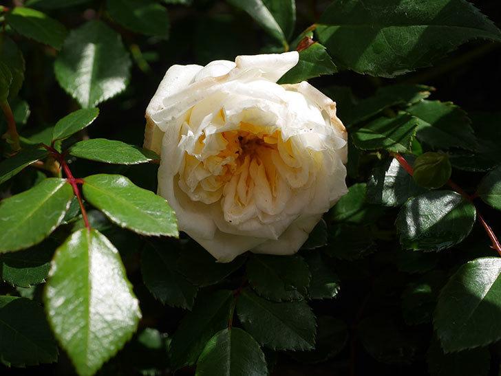 アルベリック・バルビエ(ツルバラ)の花がポツポツ咲きだした。ツルバラ。2021年-001.jpg
