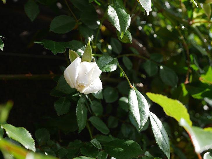 アルベリック・バルビエ(ツルバラ)の花がポツポツ咲きだした。ツルバラ。2021年-002.jpg