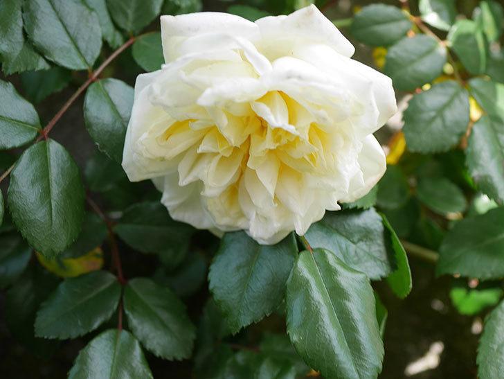 アルベリック・バルビエ(ツルバラ)の花がポツポツ咲きだした。ツルバラ。2021年-004.jpg