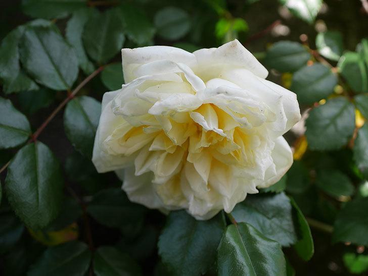 アルベリック・バルビエ(ツルバラ)の花がポツポツ咲きだした。ツルバラ。2021年-005.jpg