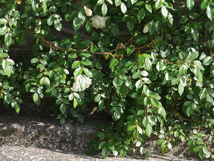 アルベリック・バルビエ(ツルバラ)の花がポツポツ咲きだした。ツルバラ。2021年-006.jpg