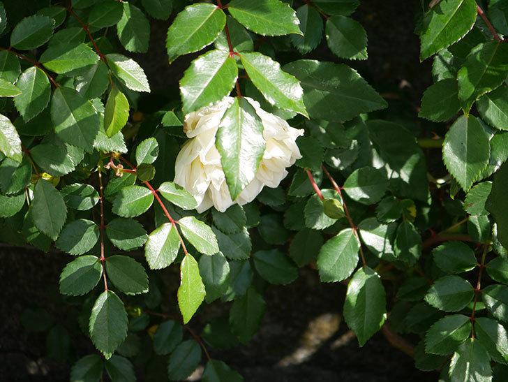アルベリック・バルビエ(ツルバラ)の花がポツポツ咲きだした。ツルバラ。2021年-007.jpg