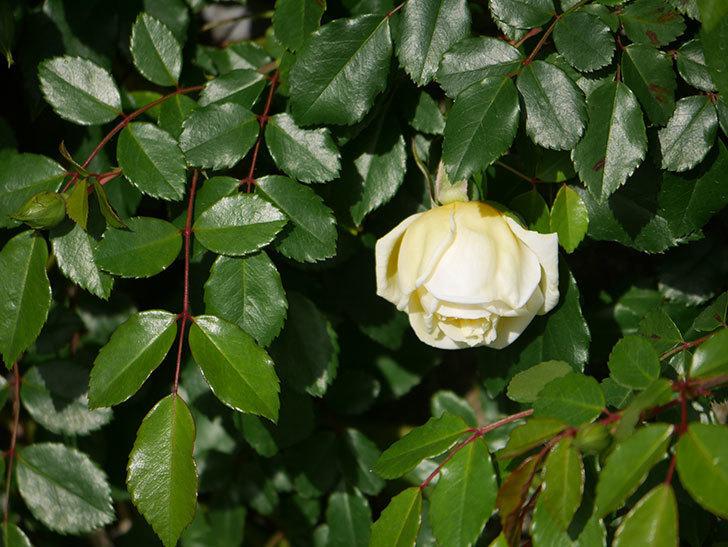アルベリック・バルビエ(ツルバラ)の花がポツポツ咲きだした。ツルバラ。2021年-008.jpg
