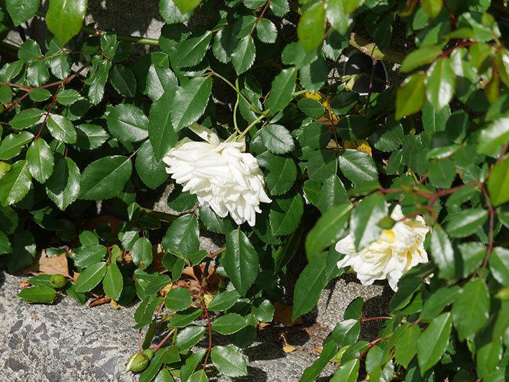 アルベリック・バルビエ(ツルバラ)の花がポツポツ咲きだした。ツルバラ。2021年-009.jpg