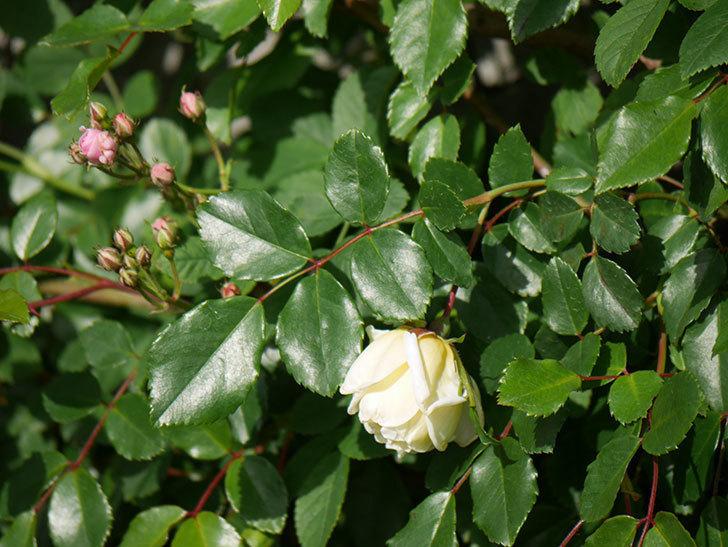 アルベリック・バルビエ(ツルバラ)の花がポツポツ咲きだした。ツルバラ。2021年-010.jpg
