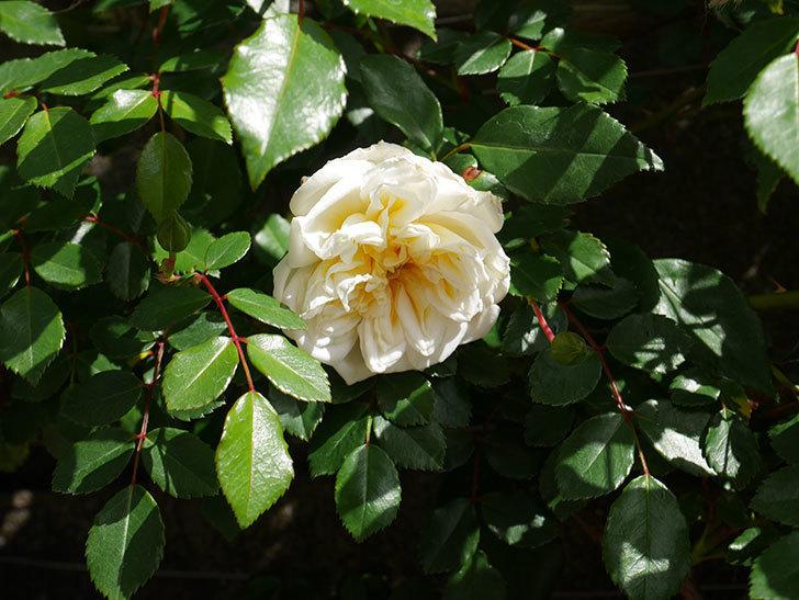 アルベリック・バルビエ(ツルバラ)の花がポツポツ咲きだした。ツルバラ。2021年-011.jpg