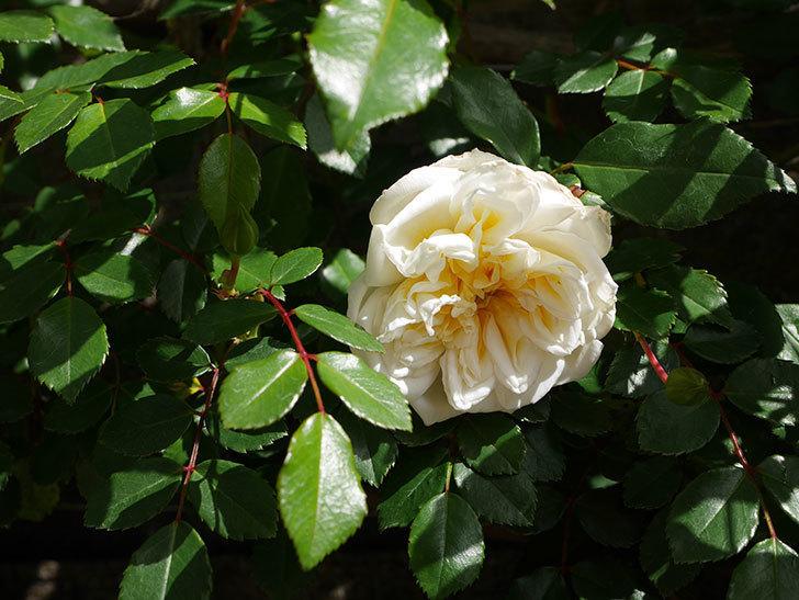 アルベリック・バルビエ(ツルバラ)の花がポツポツ咲きだした。ツルバラ。2021年-012.jpg