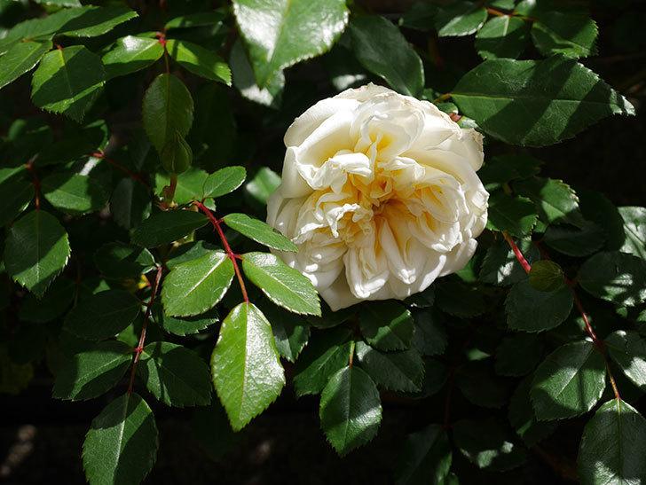 アルベリック・バルビエ(ツルバラ)の花がポツポツ咲きだした。ツルバラ。2021年-013.jpg