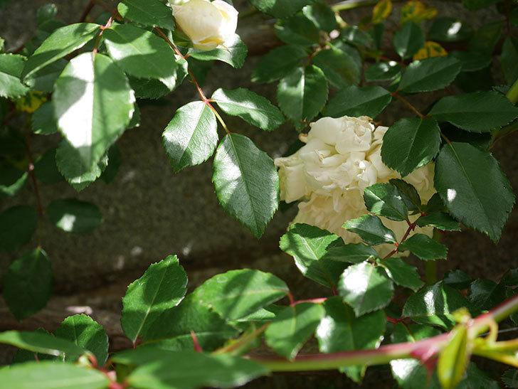 アルベリック・バルビエ(ツルバラ)の花がポツポツ咲きだした。ツルバラ。2021年-014.jpg