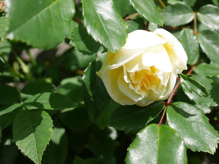 アルベリック・バルビエ(ツルバラ)の花がポツポツ咲きだした。ツルバラ。2021年-015.jpg