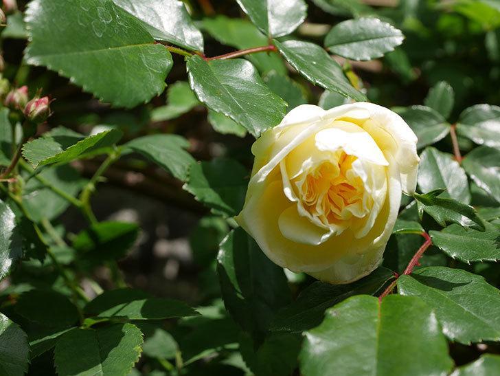 アルベリック・バルビエ(ツルバラ)の花がポツポツ咲きだした。ツルバラ。2021年-016.jpg