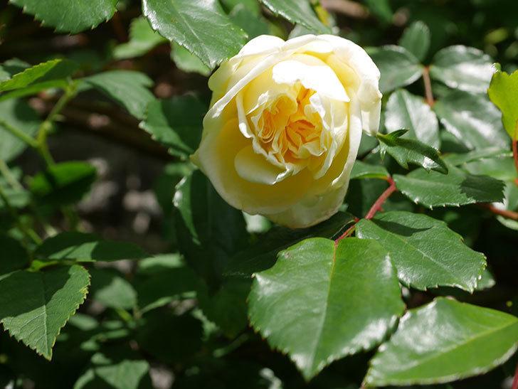 アルベリック・バルビエ(ツルバラ)の花がポツポツ咲きだした。ツルバラ。2021年-017.jpg