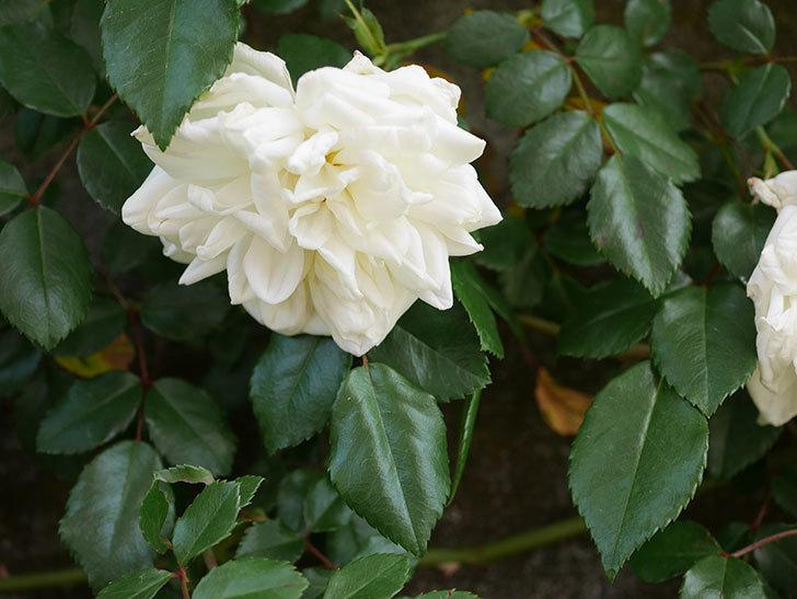 アルベリック・バルビエ(ツルバラ)の花がポツポツ咲きだした。ツルバラ。2021年-018.jpg