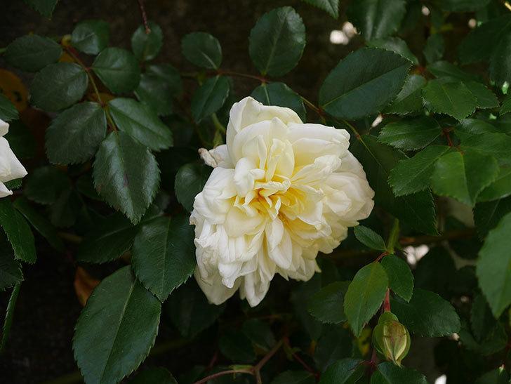 アルベリック・バルビエ(ツルバラ)の花がポツポツ咲きだした。ツルバラ。2021年-019.jpg