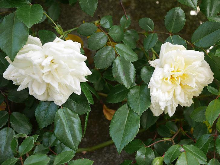 アルベリック・バルビエ(ツルバラ)の花がポツポツ咲きだした。ツルバラ。2021年-020.jpg