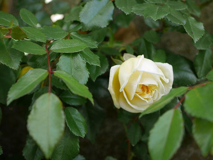 アルベリック・バルビエ(ツルバラ)の花がポツポツ咲きだした。ツルバラ。2021年-021.jpg