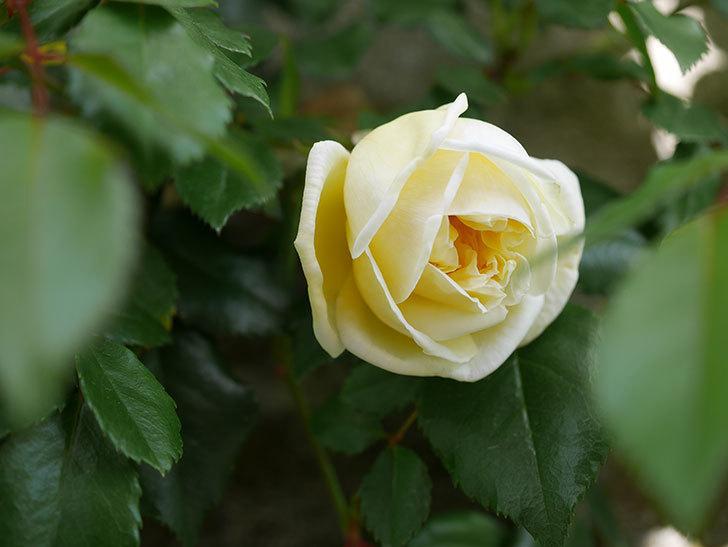 アルベリック・バルビエ(ツルバラ)の花がポツポツ咲きだした。ツルバラ。2021年-022.jpg
