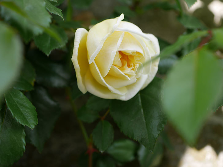 アルベリック・バルビエ(ツルバラ)の花がポツポツ咲きだした。ツルバラ。2021年-023.jpg