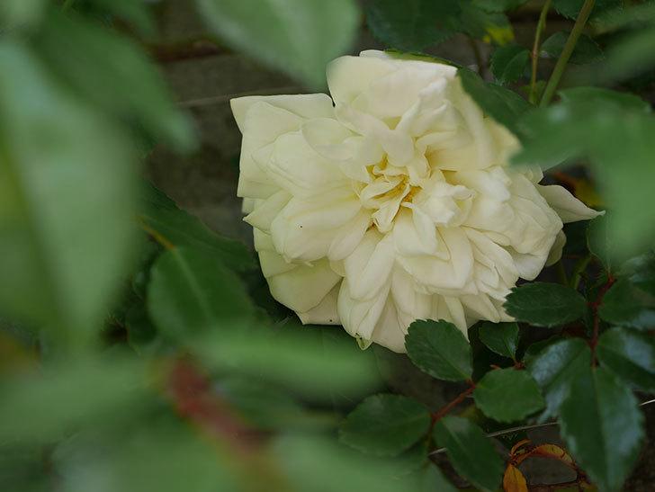 アルベリック・バルビエ(ツルバラ)の花がポツポツ咲きだした。ツルバラ。2021年-024.jpg