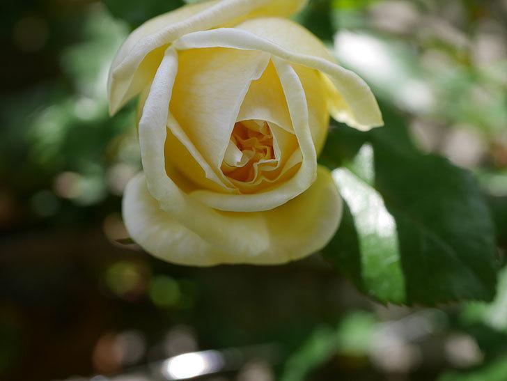 アルベリック・バルビエ(ツルバラ)の花がポツポツ咲きだした。ツルバラ。2021年-025.jpg